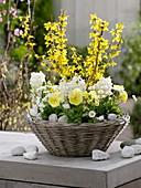 White and yellow spring basket, Forsythia 'Lynwood Gold'