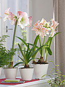 Hippeastrum 'Appleblossom' 'Candy Cane' in white pots