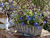 Basket jardiniere with anemone blanda (spring anemone)