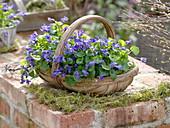 Viola odorata (fragrance violet) in basket placed on brick wall