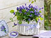 Viola odorata (fragrance violet) in white basket