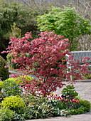 Acer palmatum 'Atropurpureum' (Roter Fächerahorn), Tulipa (Tulpen)