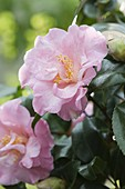 Camellia japonica 'Laurie Bray' (camellia)