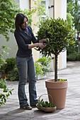 Woman cutting back laurel tree (Laurus nobilis)