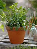 Real winter cress (Barbarea vulgaris) in clay pot