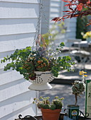 Echeveria and Sedum in enameled sieve