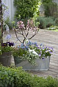 Malus 'Evereste' (ornamental apple tree) with Muscari 'Blue Magic'