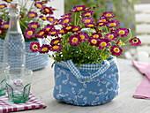 Argyranthemum 'Cherry Harmony' (marguerite) in blue cloth bag