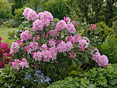 Rhododendron 'Scintillation' (Alpenrose), Rhododendron 'Georg Arends'