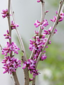 Cercis chinensis 'Avondale' (Chinesischer Judasbaum)