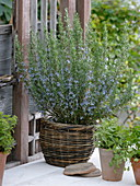 Blossoming rosemary in the wicker basket