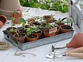 Jungpflanzen von Lavatera (Becher-Malve), Tagetes (Studentenblumen)