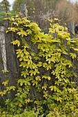 Humulus lupulus 'Aureus' (gold hops)