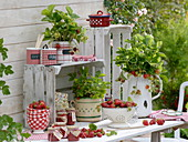 Freshly harvested strawberries and strawberry plants in the pot