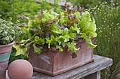 Dress salad 'Babyleaf Mix' in terracotta box, decorative ball