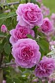 Rosa 'Gertrude Jekyll' (English fragrance rose)