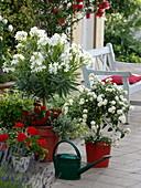 Nerium oleander 'Soeur Agnes', Lantana Suntana 'White'