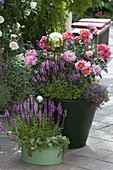 Pink 'Henri Matisse' (flower rose), often flowering, strong scent