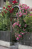Rose 'Rosarium Uetersen', fragrant, and Rosa 'Santana' red