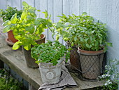 Various types of basil from the left