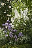 Campanula glomerata 'Caroline', Delphinium elatum