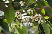 Mini Kiwi 'Issai' flowers (Actinidia arguta), self-fertile