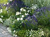 Roses with herbs and perennials