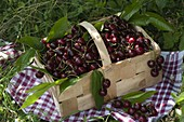 Freshly harvested sweet cherries (Prunus avium) in a spanking basket