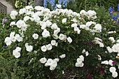Rose 'Snow White' syn. 'Iceberg', blooms until the frost