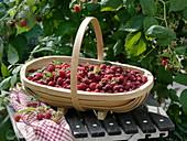 Basket of freshly picked raspberries (rubus aphid)