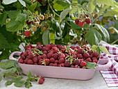 Pink baking dish with freshly picked raspberries (Rubus)