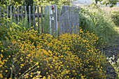 Anthemis tinctoria, in front of wooden fence