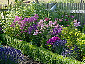 Blue-pink-purple-pink-scented-bed in the cottage garden