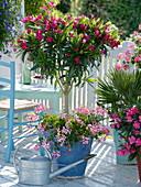 Nerium oleander (Oleander) als Stamm