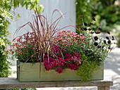 Argyranthemum 'Cherry Harmony', Pennisetum 'Dwarf Rubrum'