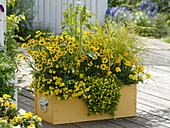 Gelber Kasten mit Calibrachoa Celebration 'Capri Yellow' (Zauberglöckchen)
