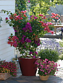 Different colors Bougainvillea pulled together in pot on trellis
