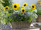 Basket with helianthus, lavender, dill