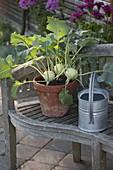 Kohlrabi (Brassica oleracea var. Gongylodes) in clay pot