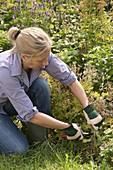 Woman cuts back geranium (Cranesbill)