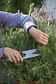 After flowering, lavender is vigorously cut back