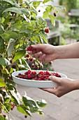 Pick raspberries (Rubus)