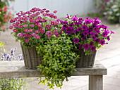Petunia 'Soleil Purple' (Petunie) mit halbgefüllten Blüten, Minze