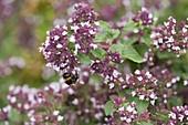 Oregano, Dost 'cultivated form' (Origanum vulgare)