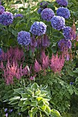 A bed of blue hydrangea and astilbe