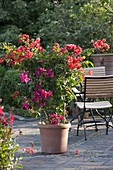 Bougainvillea orange and pink planted together on trellis