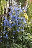 Delphinium Belladonna 'Piccolo' (Larkspur) in front of iron fence