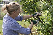 Summer cut on apple 'Topaz'
