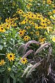Rudbeckia fulgida 'Goldsturm' (coneflower), Pennisetum 'Rubrum'
