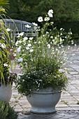White summer flowers, Cosmos, Lavatera trimestris